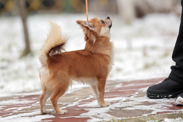 Чихуахуа щенок 2015 год