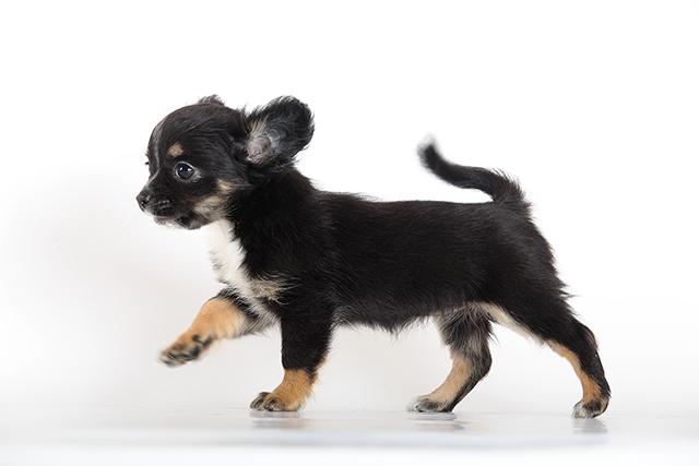 Чихуахуа щенок кличка Царица