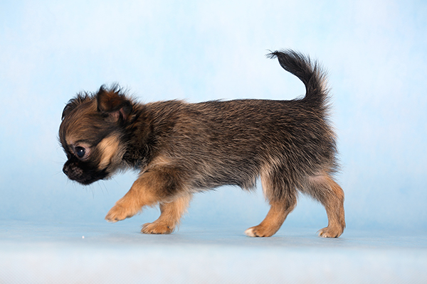 Маленькая собачка, мини вес