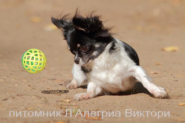 Собачка Шанелька