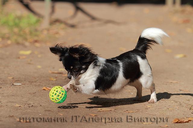 Фото чихуахуа игра в мяч