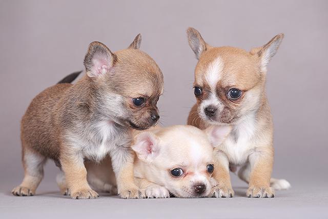 Однопометники щенята