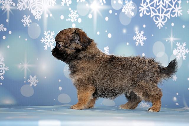 Чихуахуа щенок, окрас соболь
