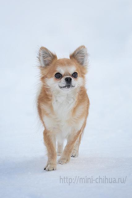 Чихуахуа прогулка зимой
