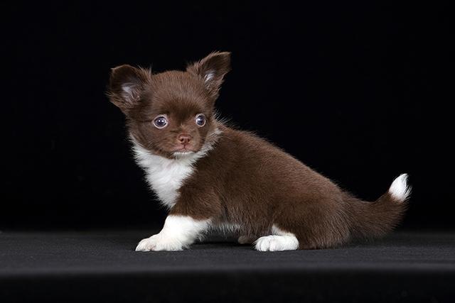 Длинношерстный шоколадный щенок
