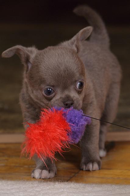 Чихуахуа щенок лиловый