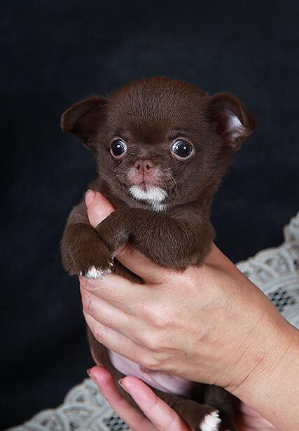 Чихуахуа щенок шоколад